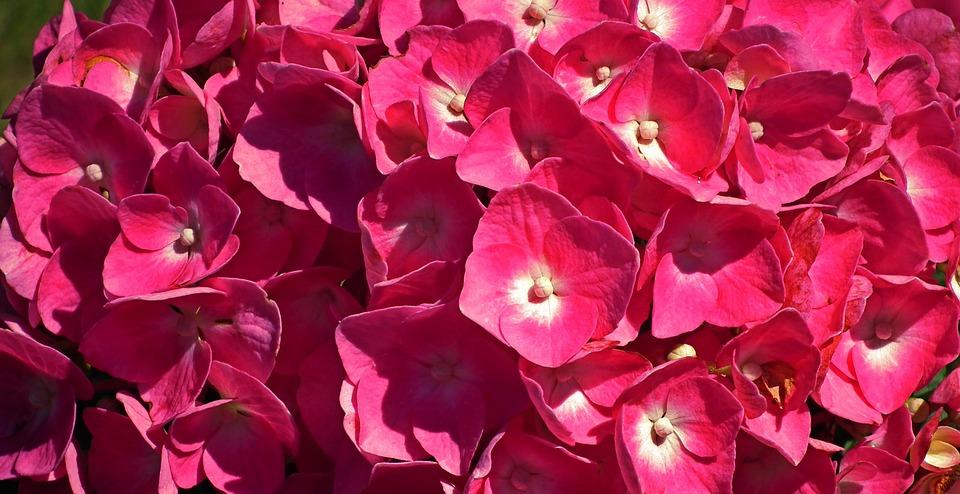 Flowers, Hydrangea, Summer, Garden, Pink, Beautiful