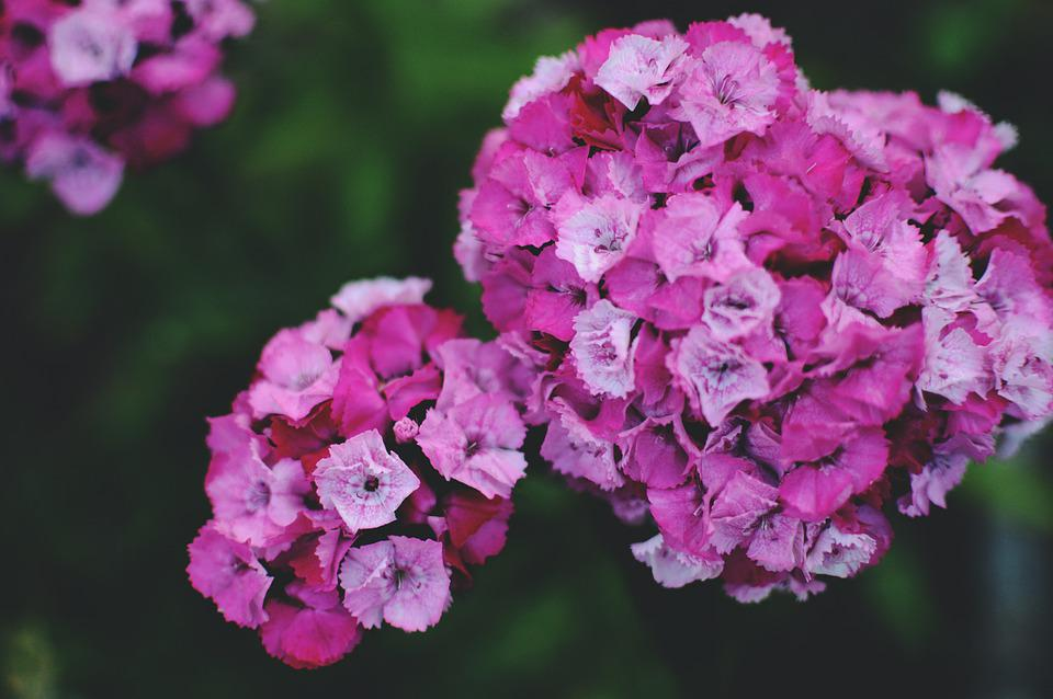 Dianthus, Flowers, Pink, Blooming, Summer, Clove