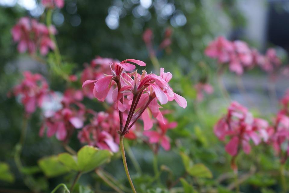 Flowers, Summer, Pink, Closeup, Nature