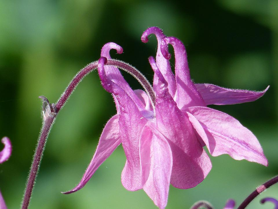 Columbine, Flower, Pink, Summer, Colors