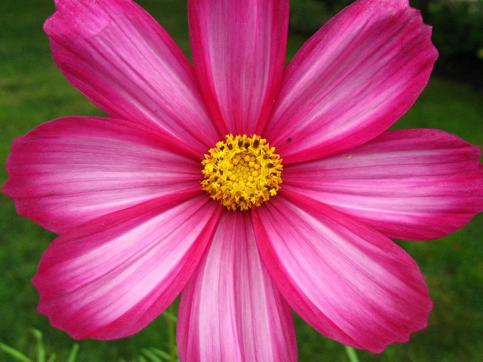 Flower, Pink, Nature, Spring, Blossom, Bloom, Summer