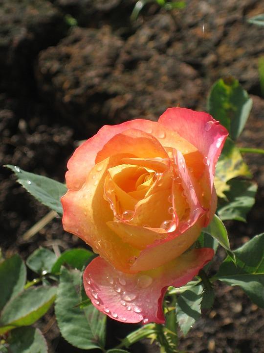 Rose, Orange, Pink, Thailand, Garden, Flower, Bloom