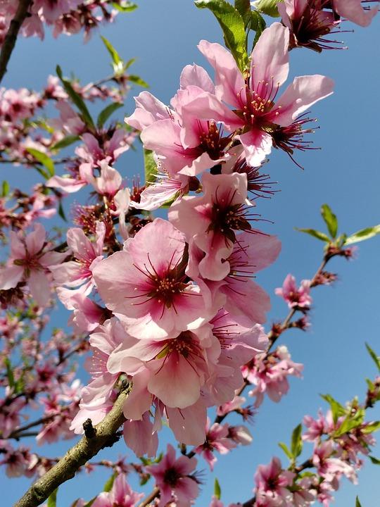 Free photo pink tree flowers spring almond blossom nature max pixel flowers spring pink tree almond blossom nature mightylinksfo
