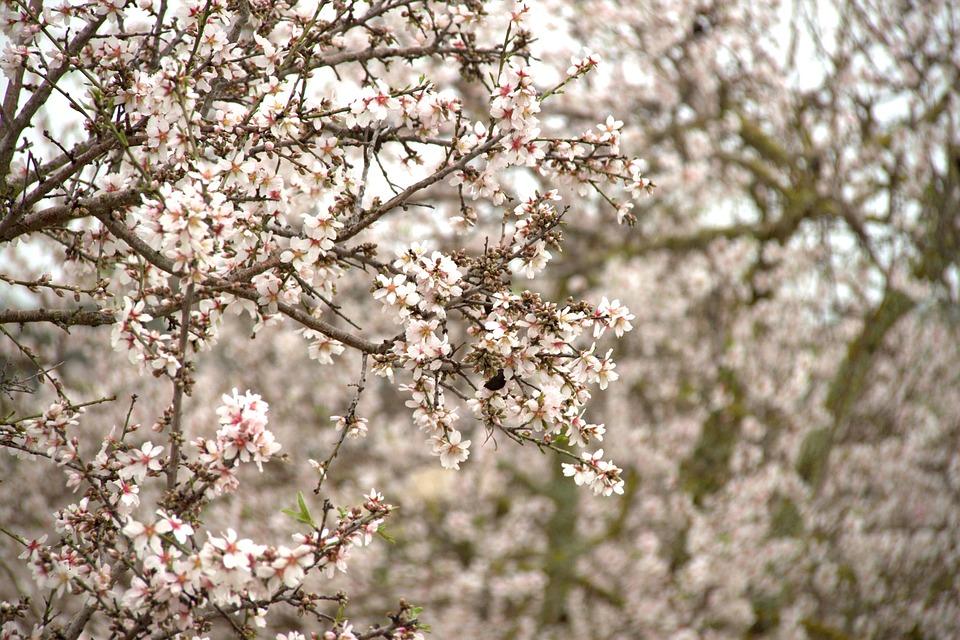 Almond Blossom, Tree, Mallorca, Pink, Mandelbaeumchen