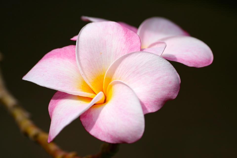 Plumeria, Pink, Tropical, Flower, Nature, Garden