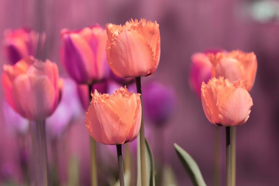 Tulips, Pink, Spring, Spring Flowers, Flowers, Bloom