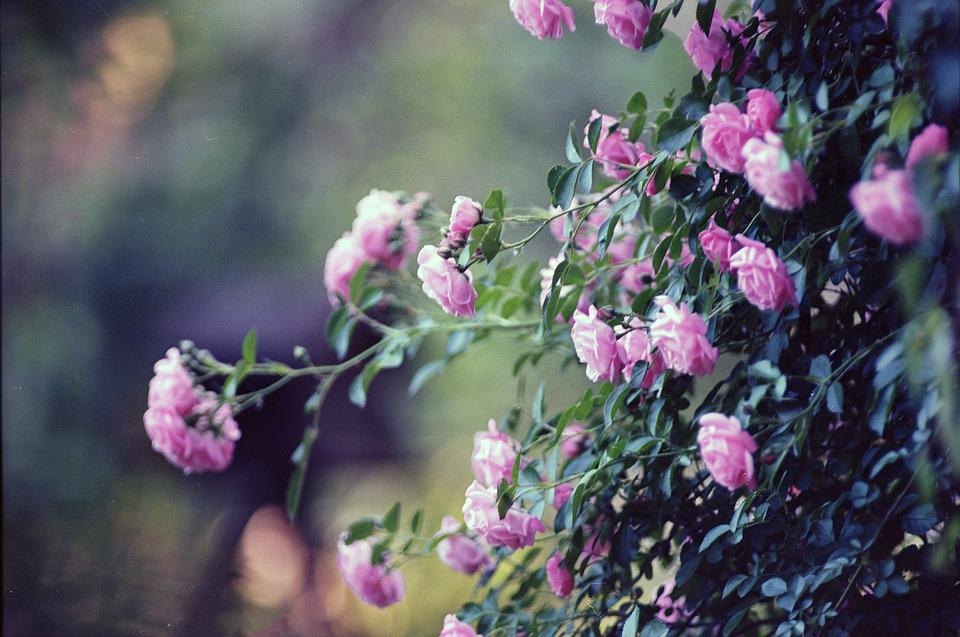 Roses, Pink, Flower, Love, Petal, Romantic, Valentine