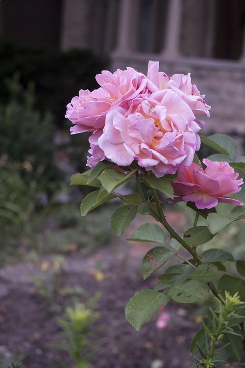 Rose, Pink, Romance, Valentine, Romantic, Petal
