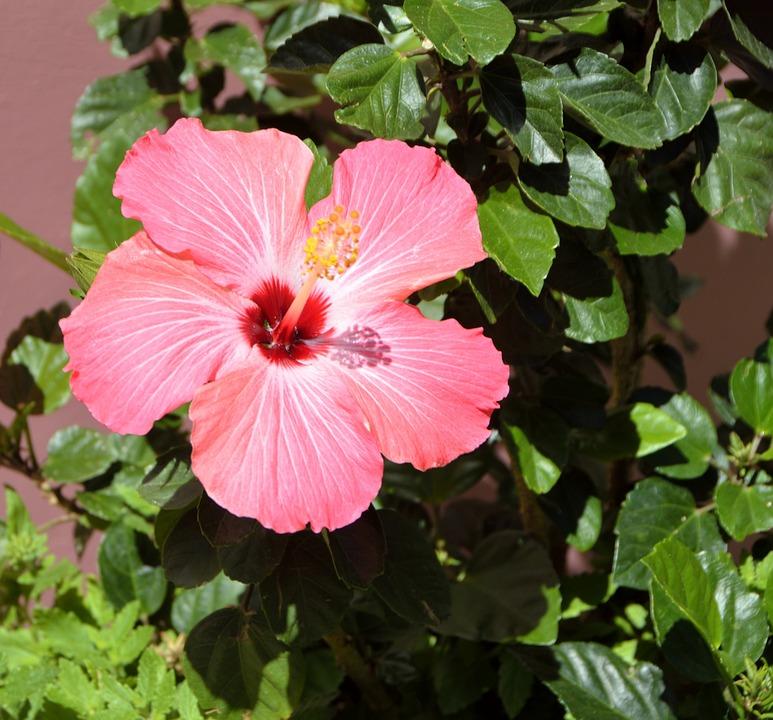 Free photo pink vibrant flower tropical hibiscus flower max pixel hibiscus flower vibrant pink tropical flower mightylinksfo