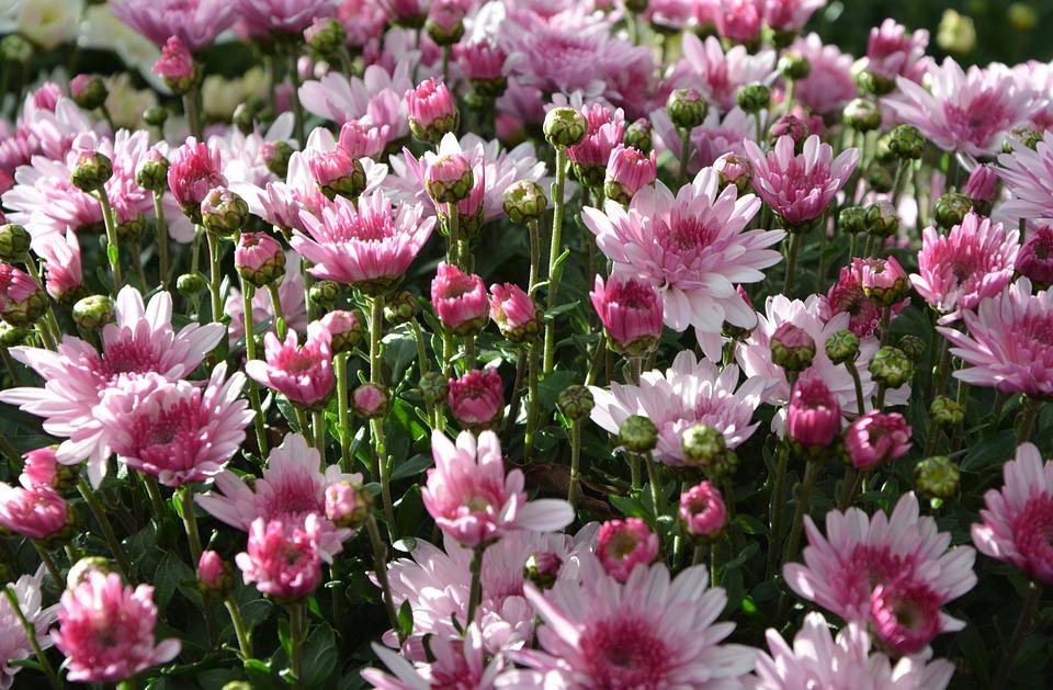Free photo pink white mums flowers flowers colors flowers max pixel mums flowers colors pink white flowers flowers mightylinksfo