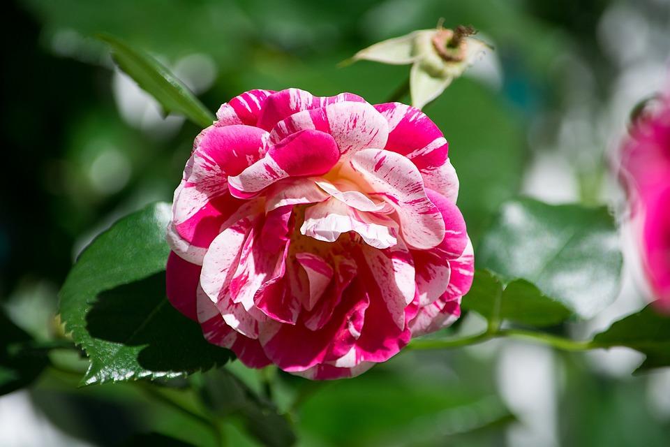 Rose, Pink White, Blossom, Bloom, Open Flower, Flower
