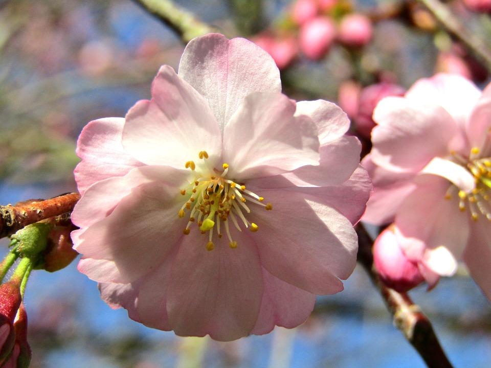 Japanese Cherry, Spring, Pink, White, Blossom, Bloom