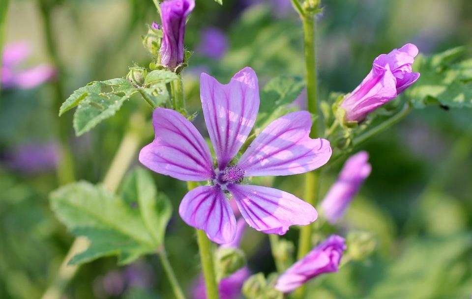 Wild Mallow, Pink, Wild Flower, Blossom, Bloom
