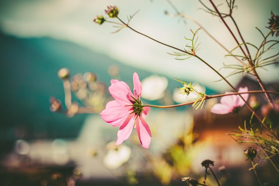 Free photo pink wind flower fall flowers flower autumn mood max pixel autumn mood fall flowers wind flower flower pink mightylinksfo