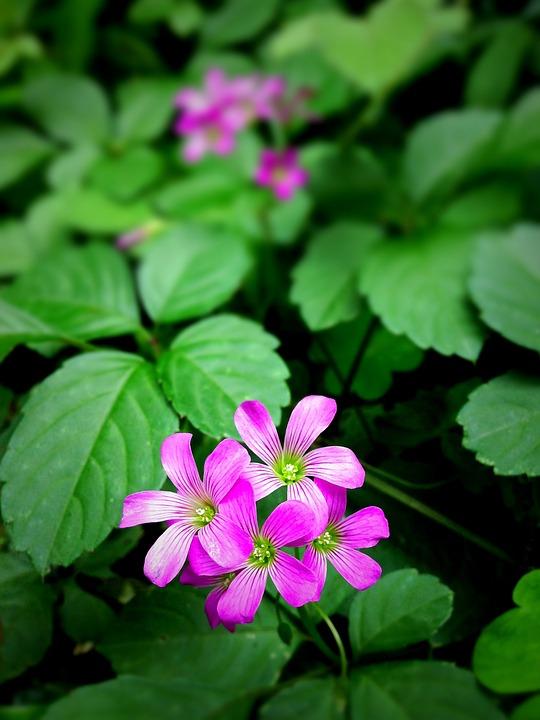 Flowers, Plants, Meadow, Wildflowers, Pink Woodsorrels