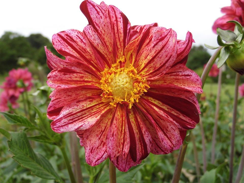 Flower, Dahlia, Pink, Yellow