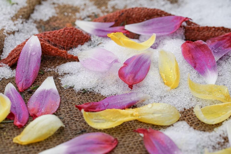 Freezing Rain, Petals, Tulips, Frost, Pink, Yellow
