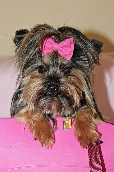 Yorkshire Terrier, Dog, Beauty, Pink, Bow