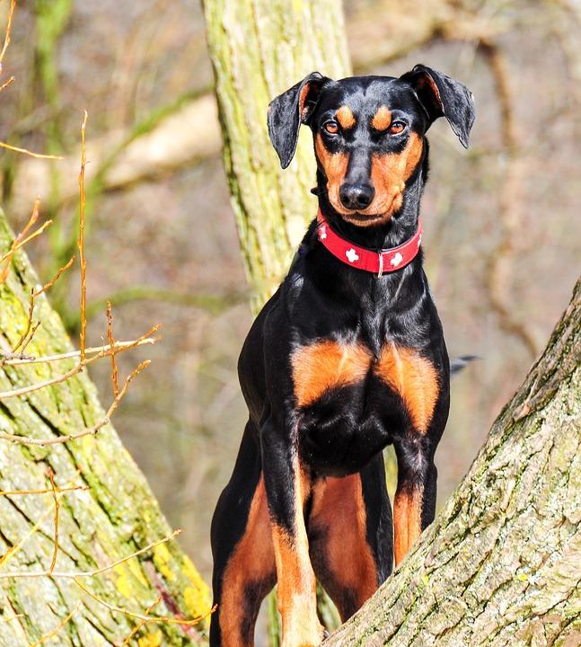 Animal, Dog, Pinscher, German Pinscher, Black, Brown