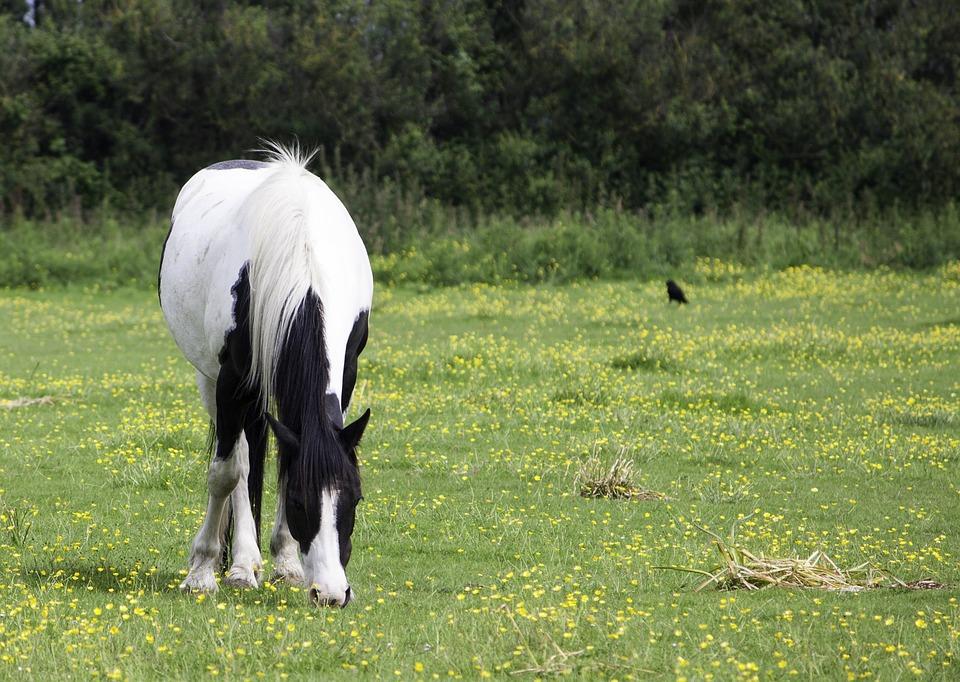 Horse, Pony, Black, White, Pinto, Grazing, Eating