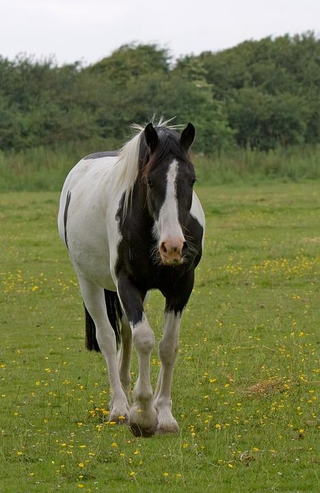 Horse, Beautiful, Animal, Black, White, Pinto, Green