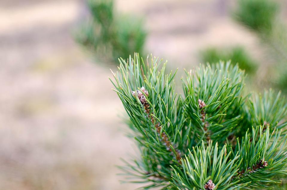 Pinus Sylvestris, Pine, Evergreen, Pinus, Tree, Cone