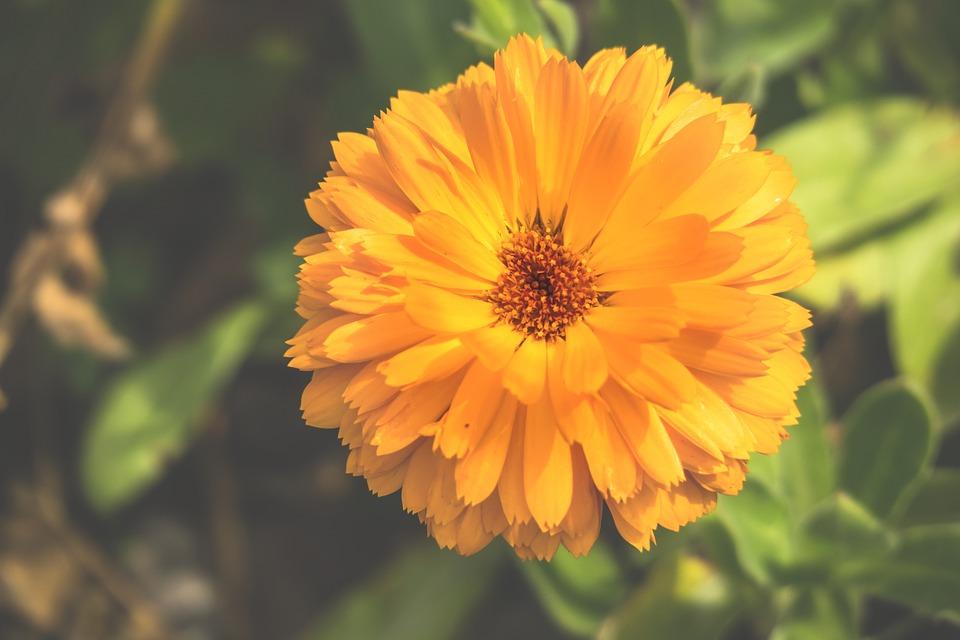 Marigold, Blossom, Bloom, Petals, Stamp, Pistil
