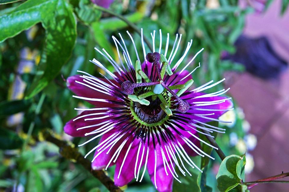 free photo pistil bloom passion flower blossom exotic flower  max, Beautiful flower