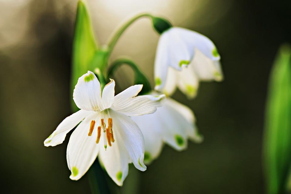 Snowdrop, Flower, Pistil, Stamen, Petal, Galanthus
