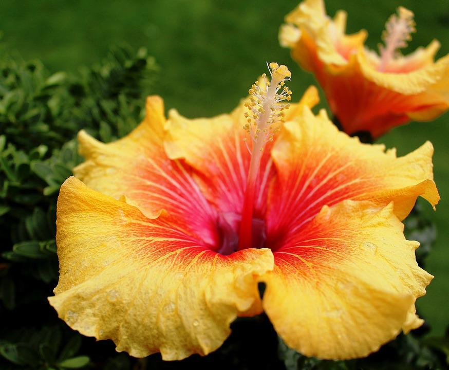 Hibiscus, Mallow, Flowers, Pistil, Yellow, Red