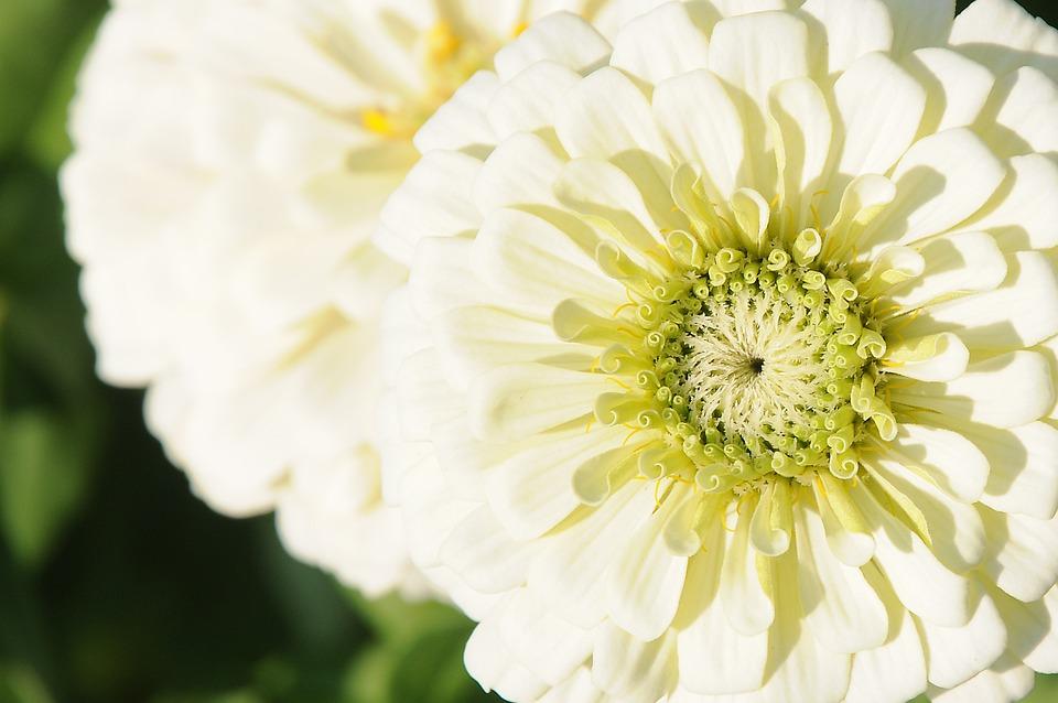 Zinnia, Flower, White Flower, Pistils, Petals
