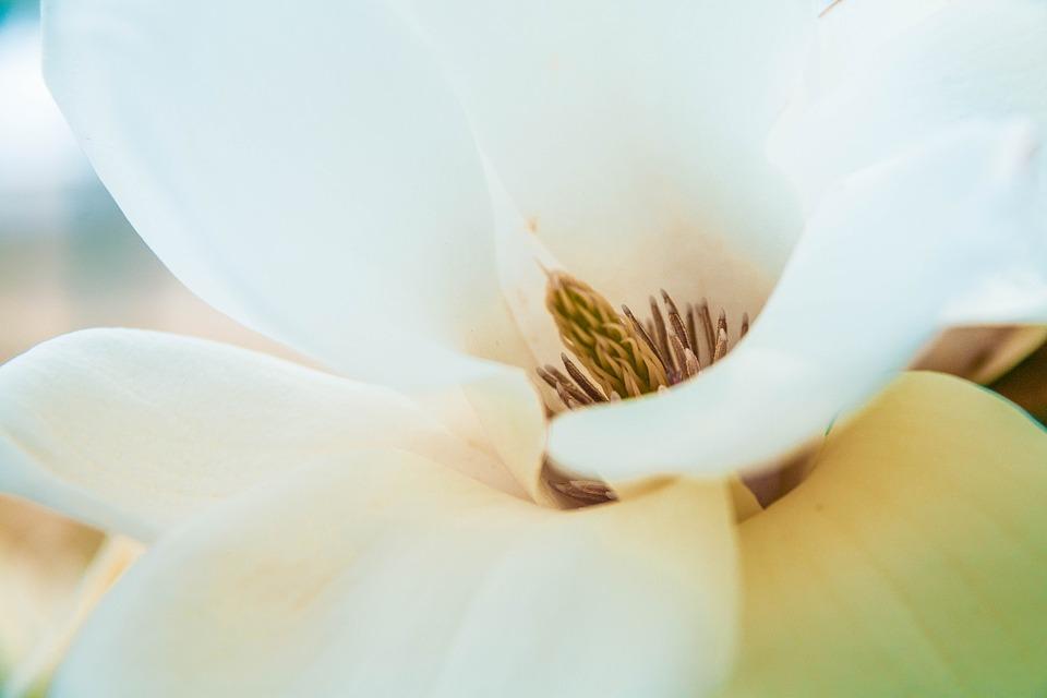 Flower, Petals, Magnolia Flower, Pistils, Flora, Floral