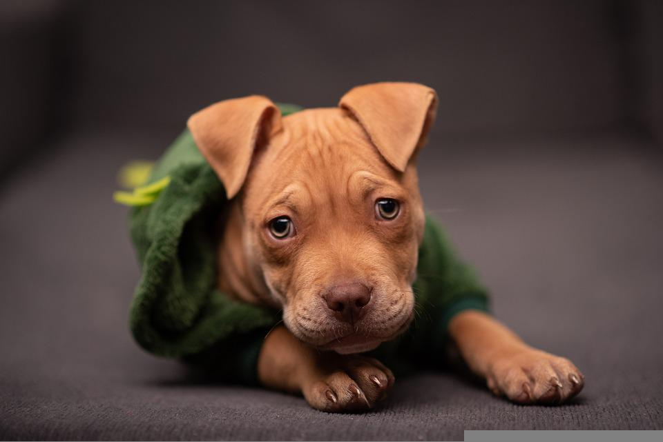 Pit Bull, Puppy, Pet, Dog, Sad, Sad Puppy, Small Dog