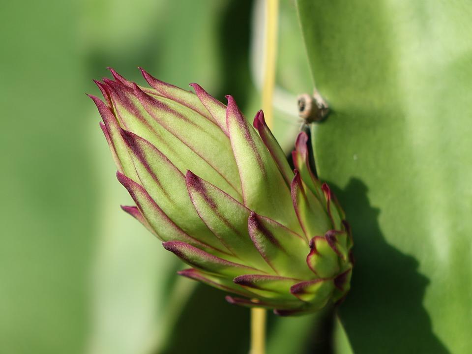The Pods, Pitaya Flower, Big Bud, Bud, Variety