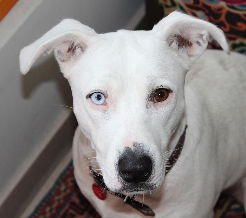 Heterochromia, Dog, White, Pittbull, Iris Heterochromia