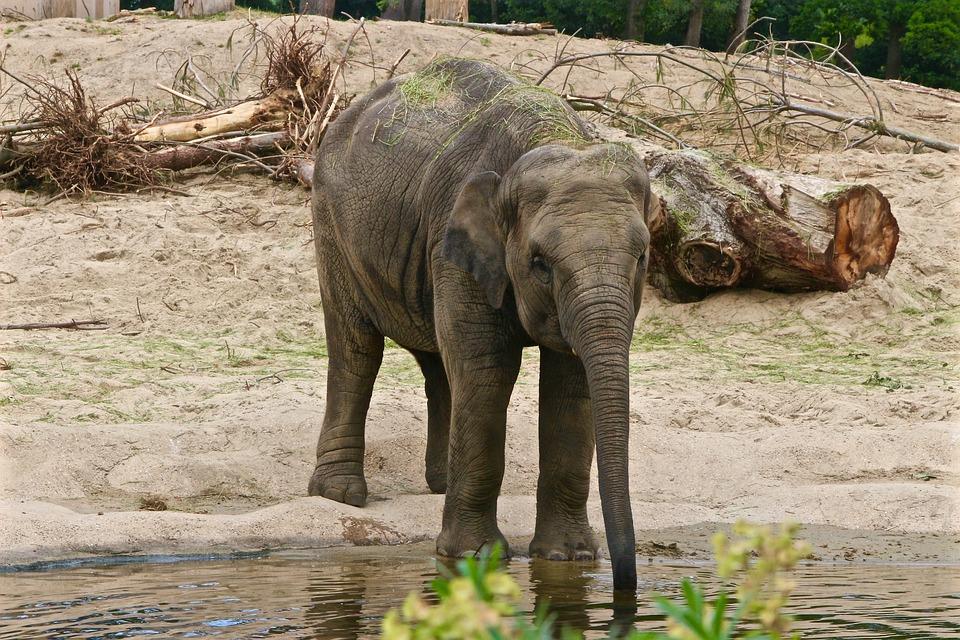 Planckendael, Elephant, Drink