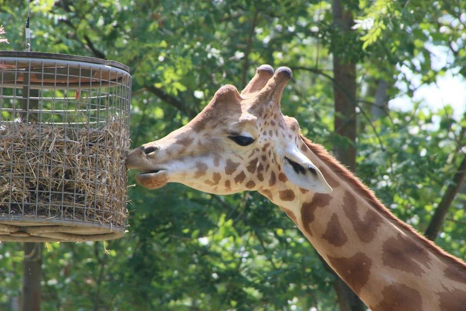 Planckendael, Giraffe, Zoo