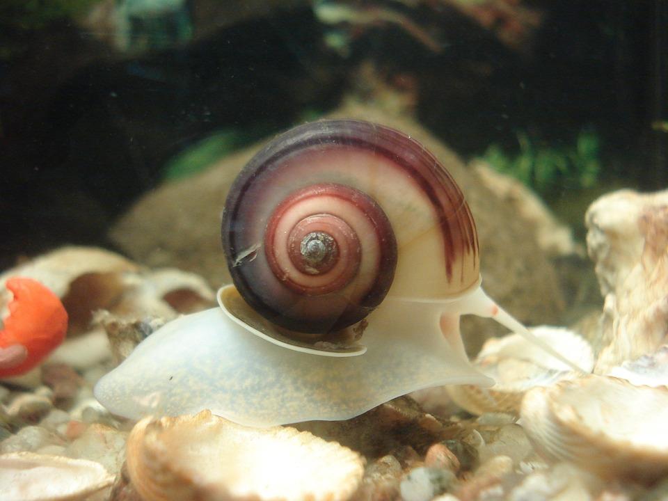 Aquarium, Snail, Planorbarius Corneus, Animals