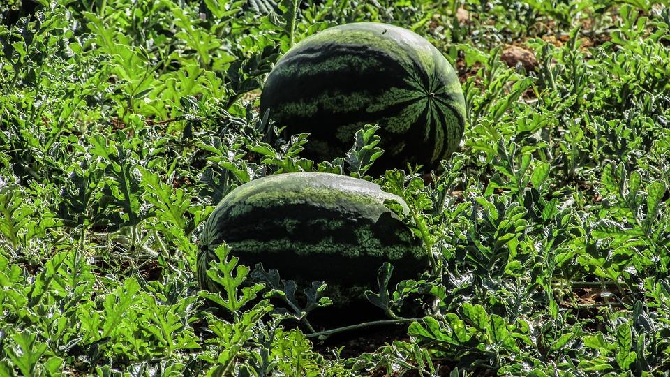 Watermelon, Plant, Fruit, Farm, Agriculture, Vegetable