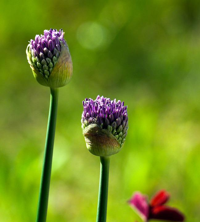 Ornamental Onion, Flowers, Buds, Allium, Plant, Flora