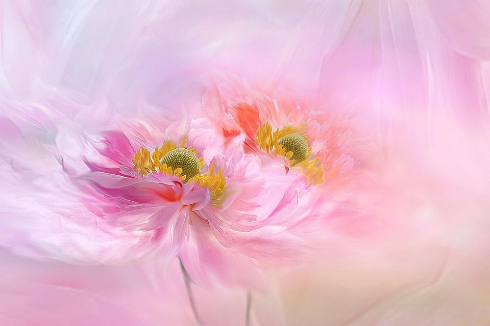 Flower, Anemone, Blossom, Bloom, Pink, Plant, Summer