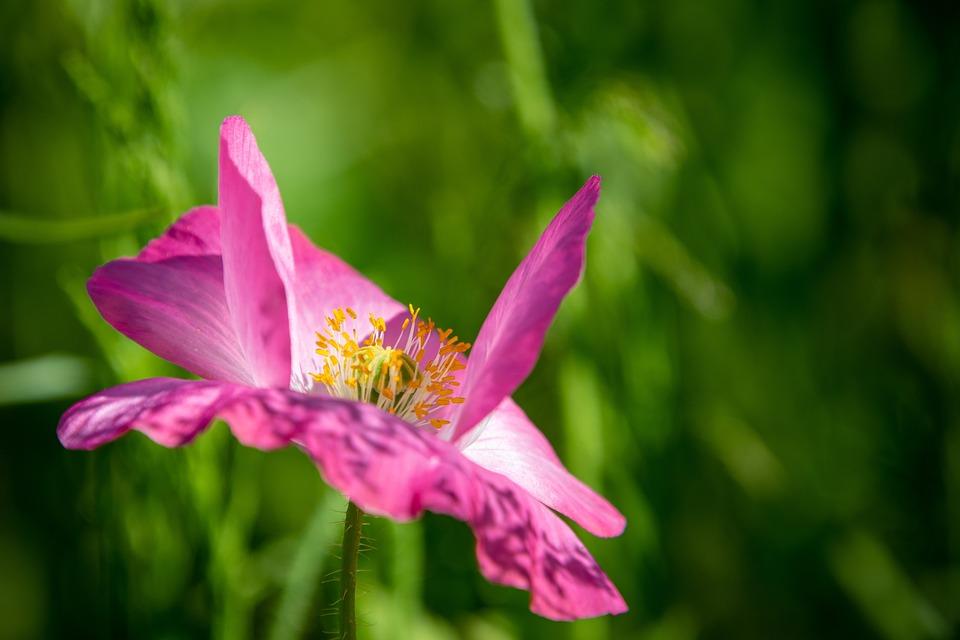 Japanese Anemone, Flower, Plant, Anemone Hupehensis