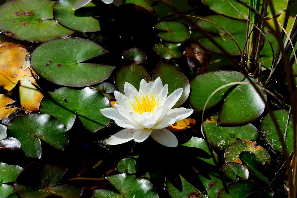 Pond, Water Lily, Aquatic, Plant, Nature, Flowers