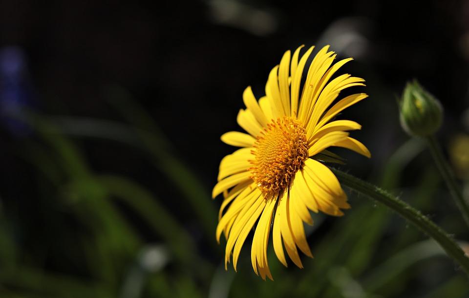 Marguerite, Flower, Argyranthemum Frutescens, Plant