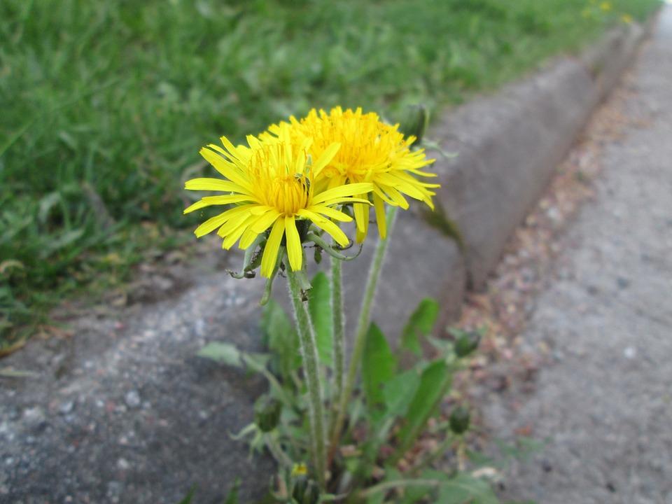 Free photo plant asphalt dandelion weeds flower yellow max pixel dandelion asphalt flower yellow weeds plant mightylinksfo