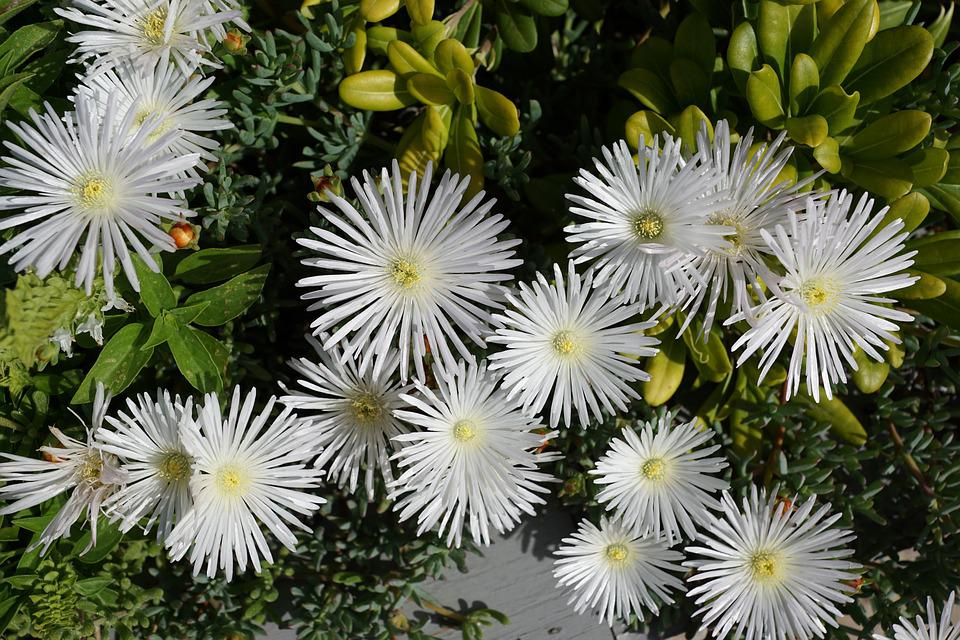 Free Photo Plant Aster Flower White Nature Max Pixel