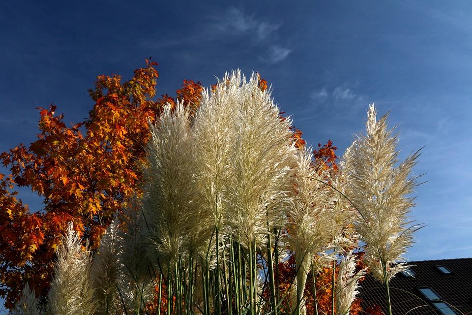 Reed, Grasses, Plant, Autumn, Close, Grass