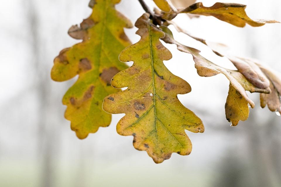 Leaf, Oak Tree, Natural, Plant, Autumn