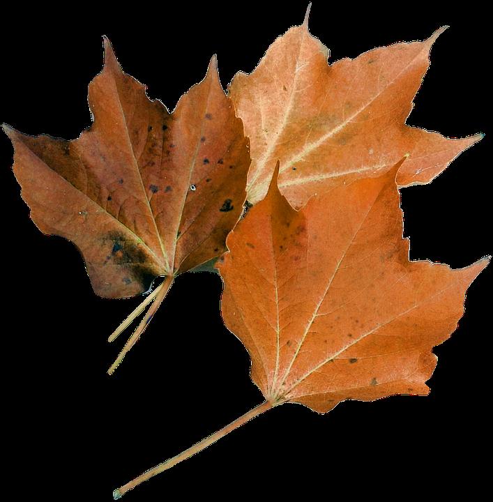 Maple Leaf, Nature, Plant, Autumn Leaf