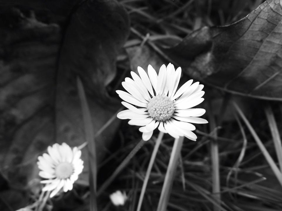 Daisy, Plant, Black And White, Detail, B W Photography